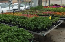 Flower and vegetable plants available at MMHS greenhouse