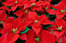 Poinsettias now available for purchase from MMHS greenhouse